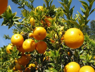 citrus tree care in mesa arizona and surrounding cities-min
