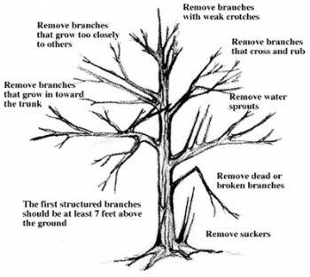 tree prunning diagram arizona