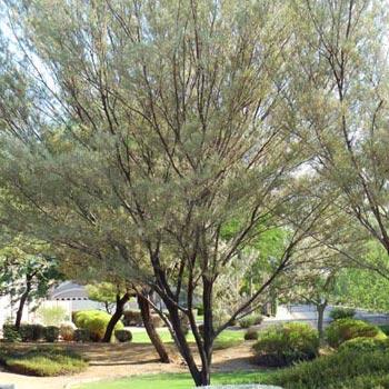 Acacia Tree in Gilbert AZ