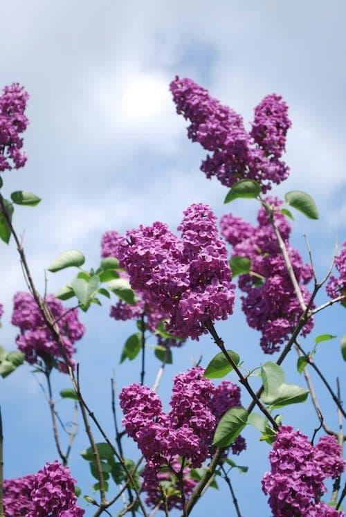 Lilac Tree in Gilbert AZ