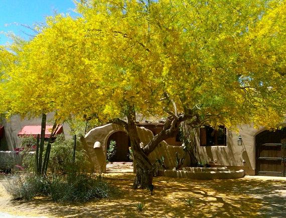 Palo Verde Trees in Gilbert AZ