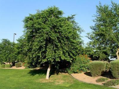 Sissoo Trees in Gilbert Arizona
